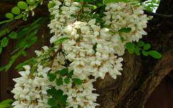 tavaszi virág virágzó fa akácvirág
