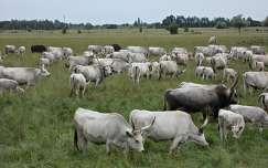 legelésző szürke marhák az Alföldön
