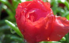 porcsinrózsa, kukacvirág