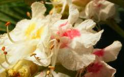 Gesztenye fa virágzáskor