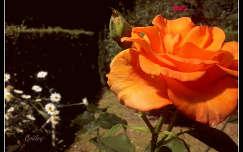 Virág a kertben:)