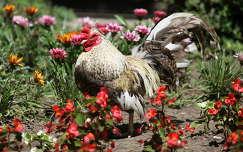 baromfi háziállat nyári virág nyár kertek és parkok kakas