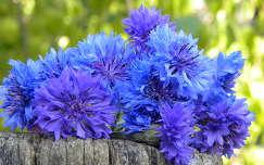 Búzavirágok