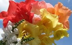 Kardvirágok