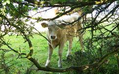borjú háziállat szarvasmarha írország