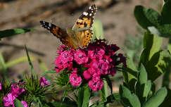 Pillangó a törökszegfűn