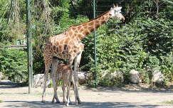 Kis zsiráf a budapesti Állatkertben