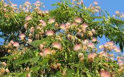 Akáciaféle fa virága