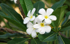 Plumeria....Sri Lankan !