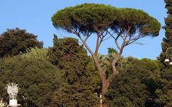 Pínea fenyő,Olaszország