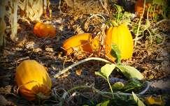 ősz tök termény