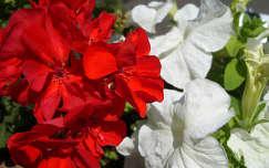 nyári virág muskátli petúnia