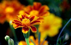 bársonyvirág nyár