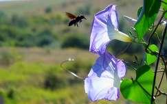 rovar hajnalka méh
