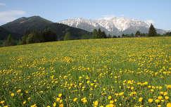 pitypang alpok ausztria virágmező