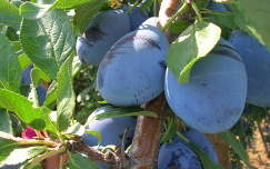 szilva gyümölcs