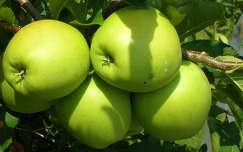 gyümölcs alma