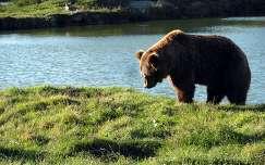 Medvét figyelő farkas.