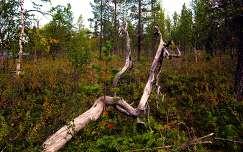 Lappföld, erdő, ősz, Finnország