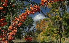 Tűztövis kora ősszel