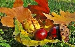 levél ősz gesztenye