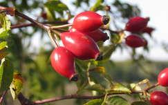 csipkebogyó gyümölcs
