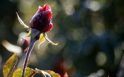 zúzmara bimbó rózsa