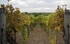 szőlőültetvény ősz