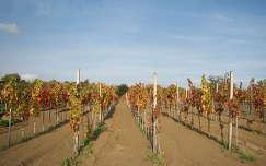 Fiatal szőlőültetvény Bársonyoson