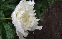 Pünkösdi rózsa. Fotó: csonki