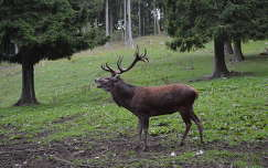 bika szarvas és őz erdő