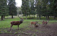 bika szarvas és őz
