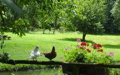 galambok a Zoltán tónál