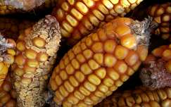 kukorica termény