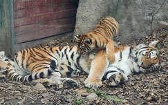 Kölyöktigris a Budapesti Állatkertben