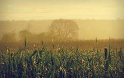 köd kukoricaföld