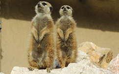 Szurikáták az Állatkertben