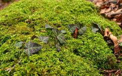 örökzöld moha borostyán