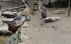 Koronásdaru fiókák a Budapesti Állatkertben