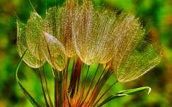 pitypang vadvirág