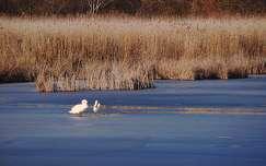 tél hattyú jég tó vizimadár