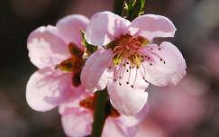 Barackfa virága