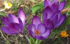 krókusz tavaszi virág tavasz