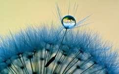 pitypang tükröződés vízcsepp