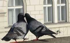 Minden madár társat választ... Fotó: Kupcsik Sarolta
