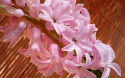 tavaszi virág vízcsepp jácint