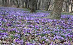 tavaszi virág virágmező vadvirág krókusz tavasz erdő