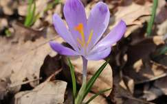 krókusz tavaszi virág