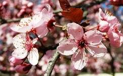 Virágzó Dísz-szilva