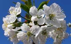 Gyümölcsvirág
